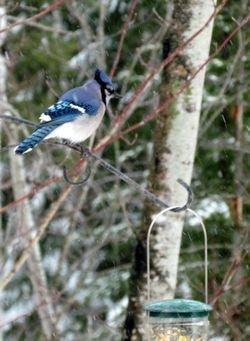 5-Blue-Jay-1