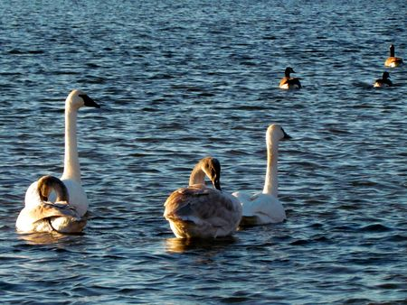 Trumpeter-Swans-4