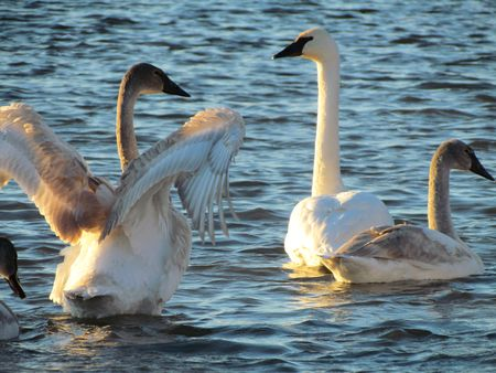 Trumpeter-Swans-5
