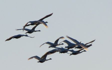 Trumpeter-Swans-3