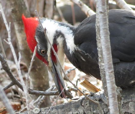Pileated-4