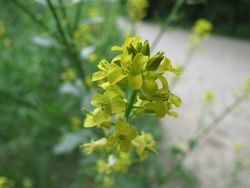 Garden-Yellow-Rocket