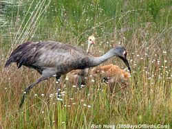 073-Birds-365-Sandhill-Cranes-Family-04