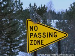 053b-Birds-365-No-Passing-Zone-Great-Gray-Owl