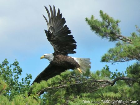 161-D4-Rainy-Lake-Bald-Eagle-1B_wm