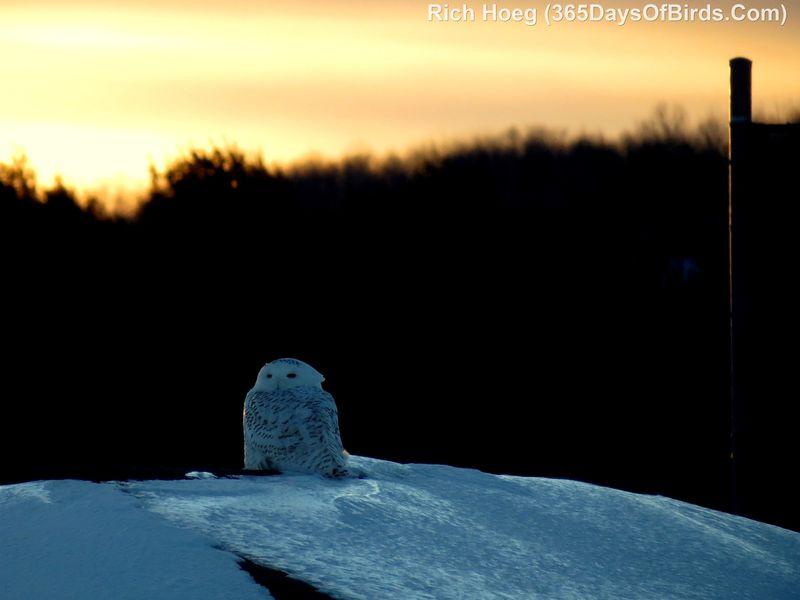 003D-Birds-365-Sunset-Owl
