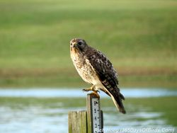 074-Birds-365-Red-Shouldered-Hawk-Crow-Attack-1