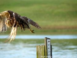 074-Birds-365-Red-Shouldered-Hawk-Crow-Attack-2