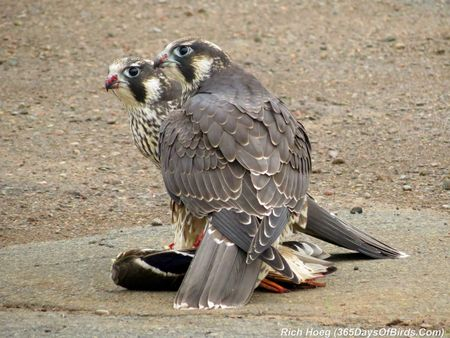 207-Birds-365-peregrine-falcon-3