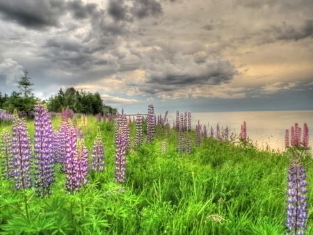 Stormy-Lupines