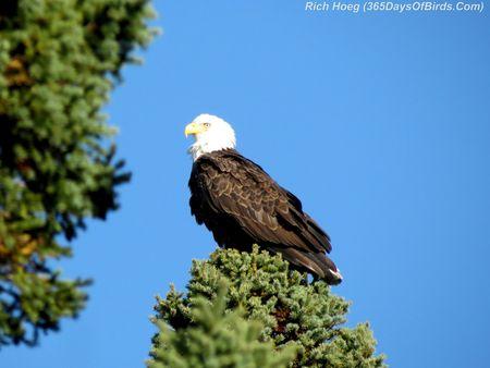 262-Birds-365-Bald-Eagle
