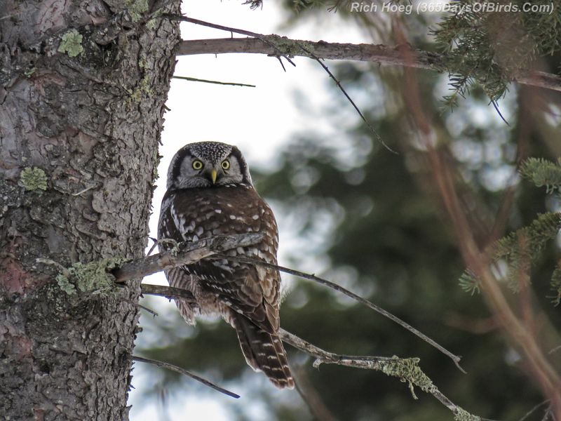 Y2-D001-Northern-Hawk-Owl-Perched